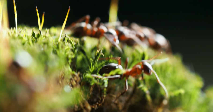 small group of animals : Macro footage with moving ants on green moss.