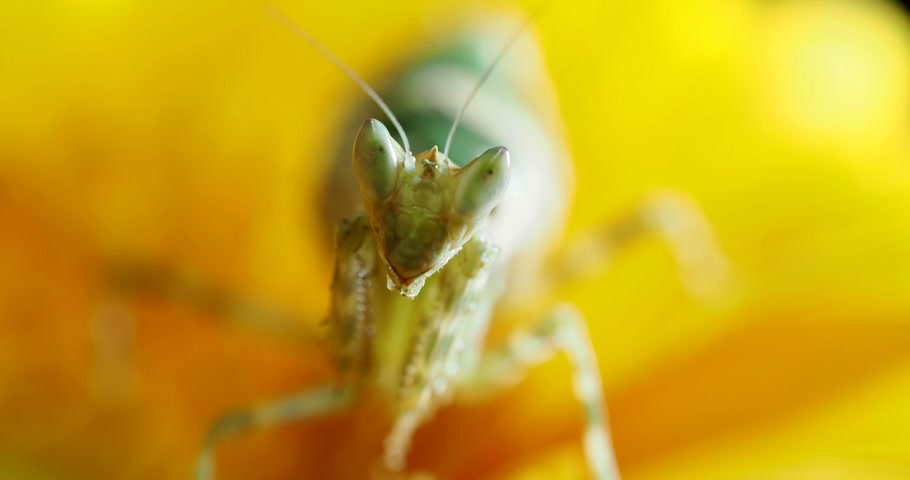 százszorszépek : Creobroter meleagris mantis sitting on yellow flower.