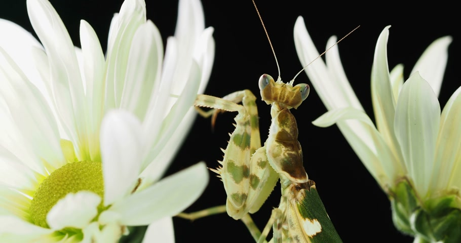 munch : Creobroter meleagris mantis sitting on flower. Stock Footage