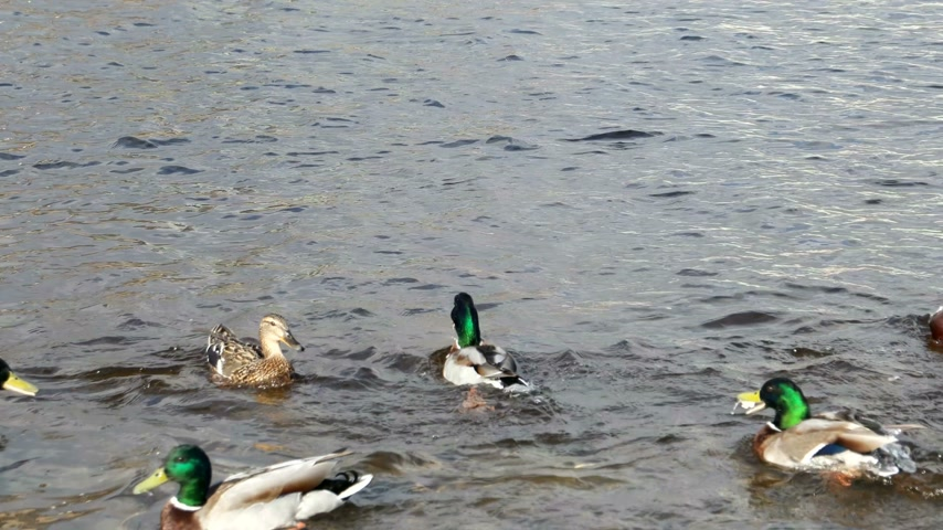 koşuşturma : Drakes and ducks fighting among themselves for food. Neva river, Saint-Peterburg, Russia.