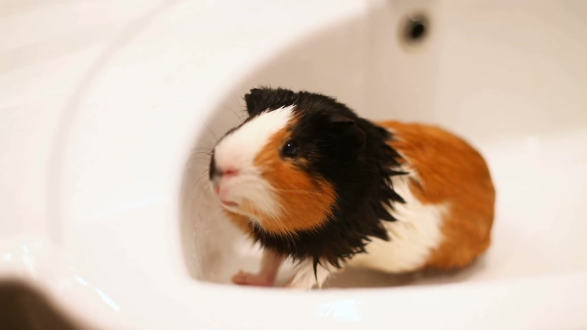 üç renkli : Guinea pig sitting in the sink. Wet bathing pet