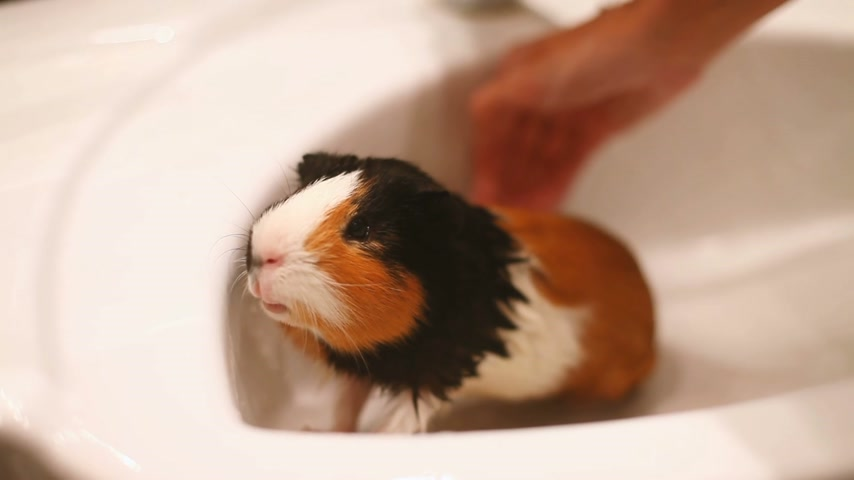 świnka morska : Guinea pig sitting in the sink. Wet bathing pet