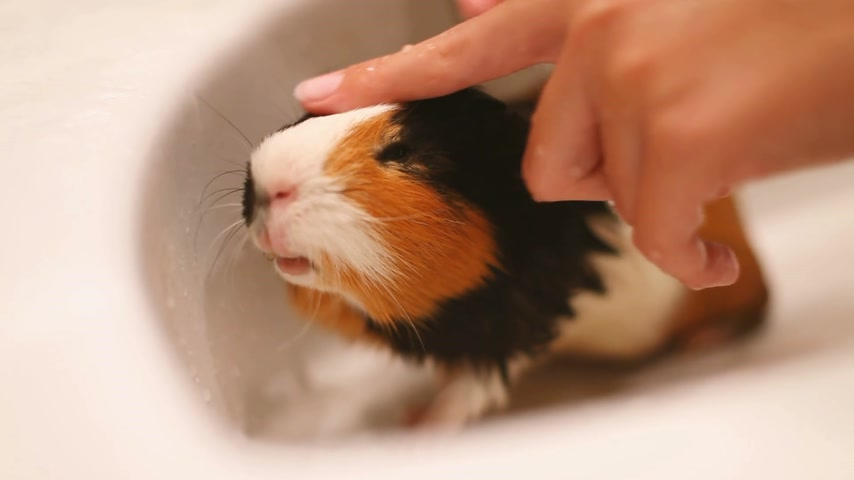 trikolóra : Guinea pig sitting in the sink. Wet bathing pet