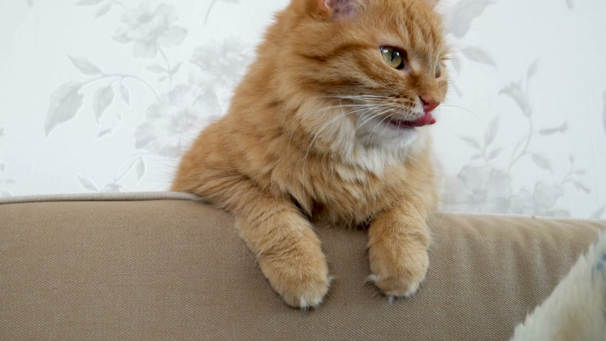 imbir : Cute ginger cat is sitting on couch. Cozy home. Fluffy pet looks with curiosity.