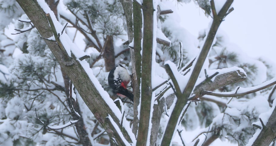 кора : Great spotted woodpecker, Dendrocopos major, knocks on the bark of a tree, extracting edable insects. Bird in winter forest. Стоковые видеозаписи
