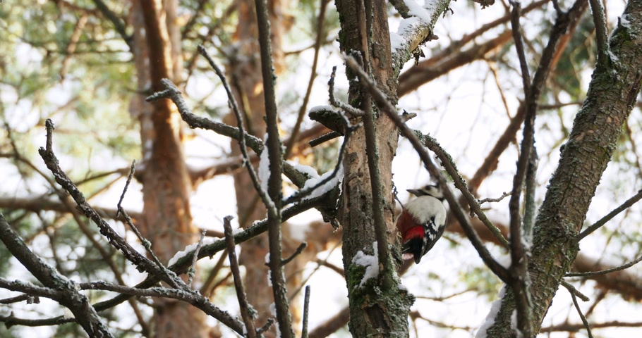 стучать : Great spotted woodpecker, Dendrocopos major, knocks on the bark of a tree, extracting edable insects. Bird in winter forest. Стоковые видеозаписи