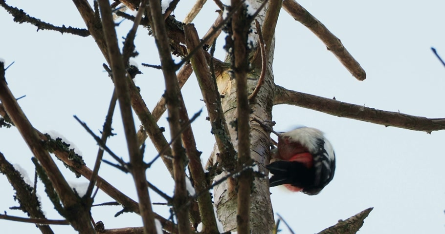 kopogás : Great spotted woodpecker, Dendrocopos major, knocks on the bark of a tree, extracting edable insects. Bird in winter forest. Stock mozgókép