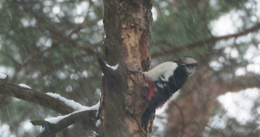 havlama : Great spotted woodpecker, Dendrocopos major, knocks on the bark of a tree, extracting edable insects. Bird in winter forest. Stok Video