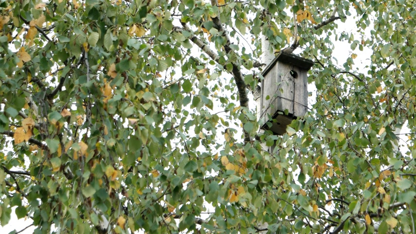 csatolt : Wooden birdhouse attached among the birch tree branches. Autumn foliage with yellow leaves Stock mozgókép