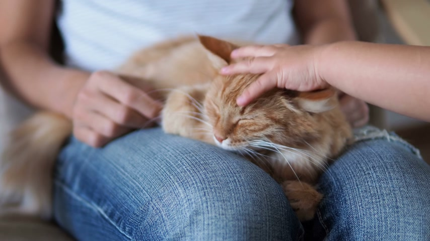 порванный : Cute ginger cat sleeping on knees. Fluffy pet dozing , woman in torn jeans strokes her pet. Little baby touching cat ears. Cozy home.