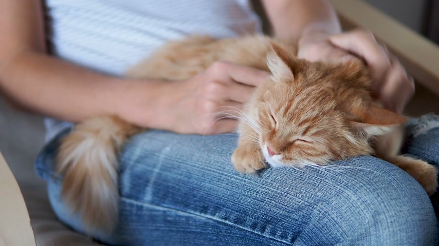 kürklü : Cute ginger cat sleeping on knees. Fluffy pet dozing , woman in torn jeans strokes her pet. Cozy home. Stok Video