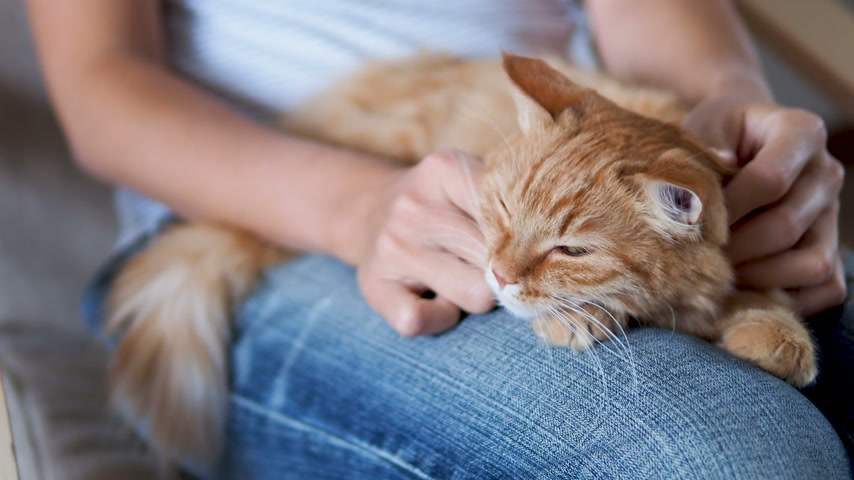 rasgado : Cute ginger cat sleeping on knees. Fluffy pet dozing , woman in torn jeans strokes her pet. Cozy home. Vídeos