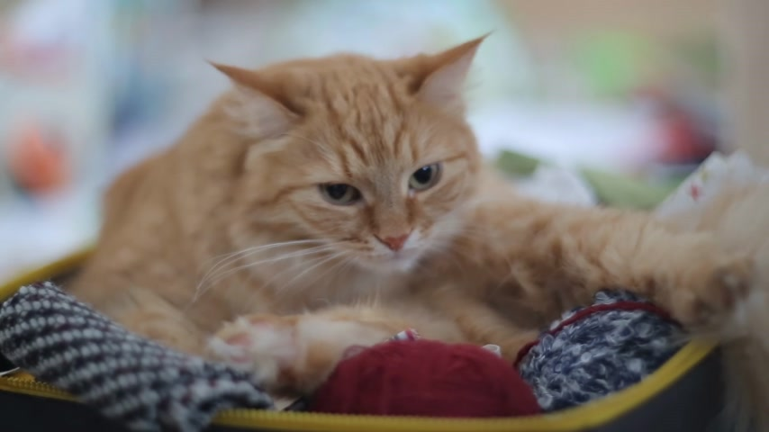 likken : Cat licking inside box with needlework - skeins of yarn, folded fabrics and threads.