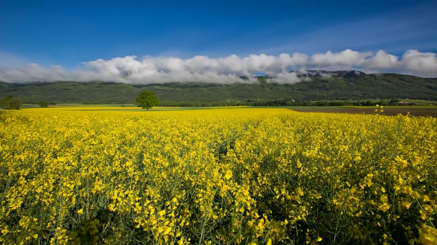 луг : Rapeseed field with Jura mountain range in the background