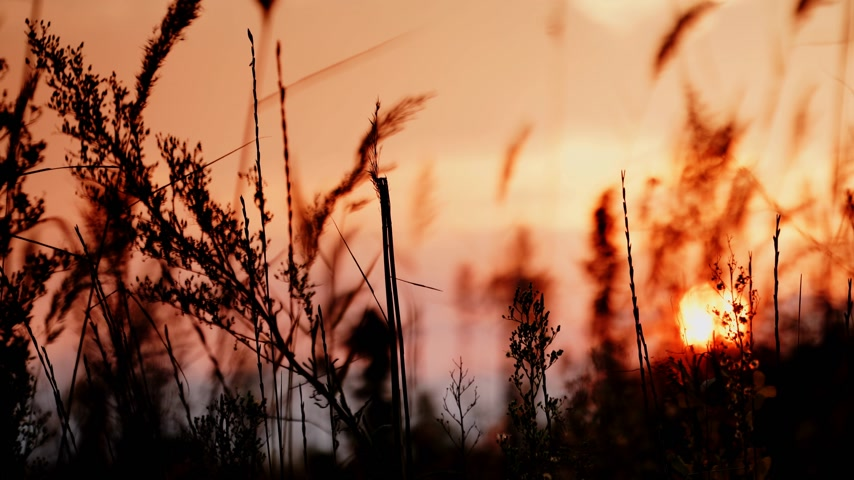 sazlık : Reed against orange sunset sky