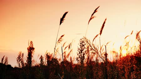 rákos : Reed against orange sunset sky