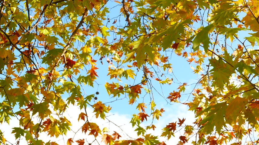 sun beam : Autumn maple tree leaves on blue sky 4K Stock Footage