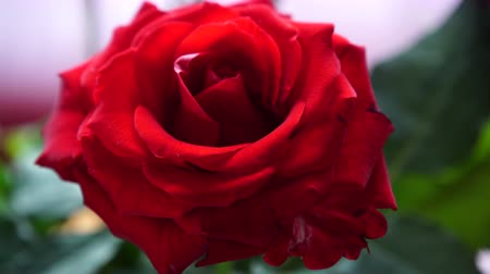 розы : Valentines day love symbol. Red rose flower macro 4K with motorized slider. Стоковые видеозаписи