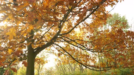 황야 : Autumn fall oak tree leaves and branches in park forest. Seasonal nature. 4K steadicam shot ProRes HQ codec.