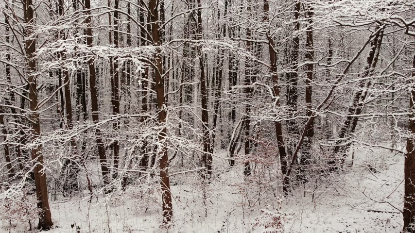 poland : Winter forest. Trees covered with snow.