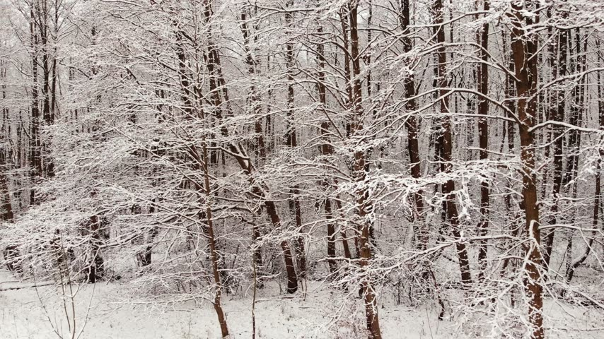 крытый : Winter forest. Trees covered with snow.