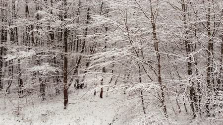 polônia : Winter forest. Trees covered with snow.