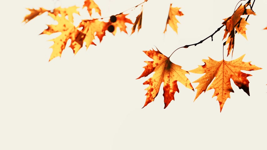 outonal : Autumn maple tree leaves against bright sky Stock Footage