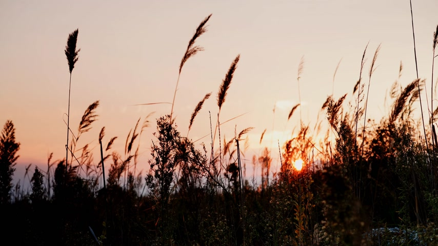 juncos : Reed against orange sunset sky