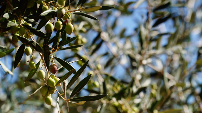 grecja : Gardener hand touching olive on tree 4K