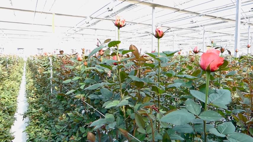 hydroponic : large industrial greenhouse with dutch roses camera up