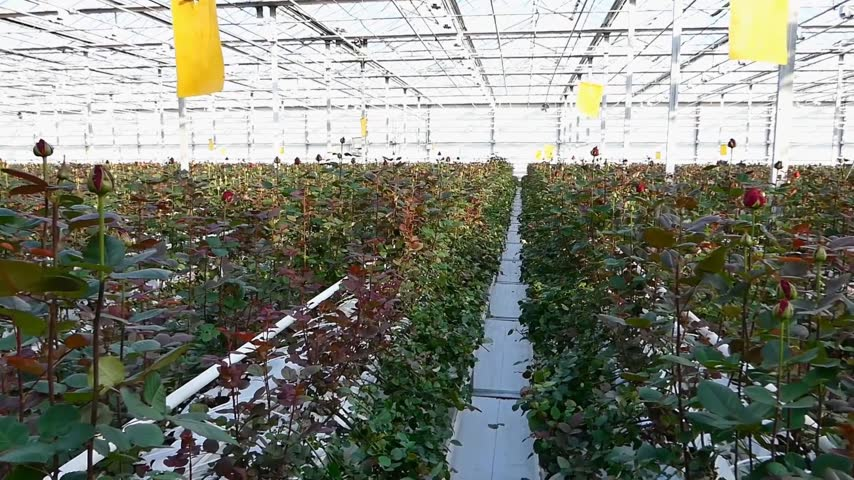 hydroponic : large industrial greenhouse with dutch roses