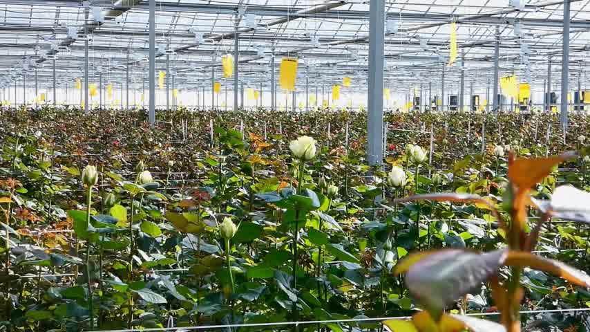 commercial cultivation : large industrial greenhouse with dutch roses