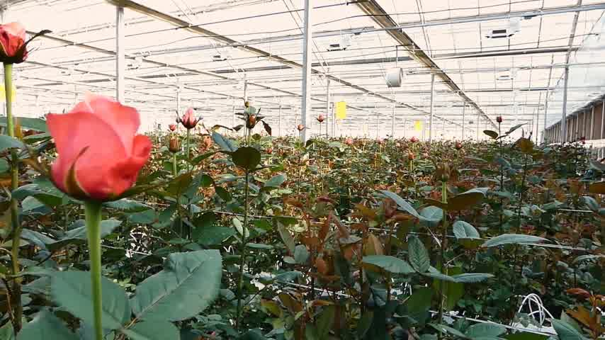 spring flowers : close-up of a rose on a greenhouse. large industrial hothouse with Dutch roses