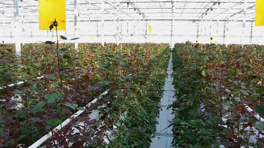 aproximação : large industrial greenhouse with dutch roses