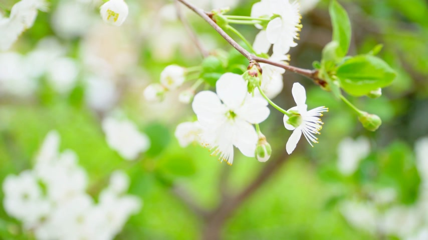 Flowering branch cherry with a light wind, close-up. Real time. Cherry flower petals on a sunny day Stok Video
