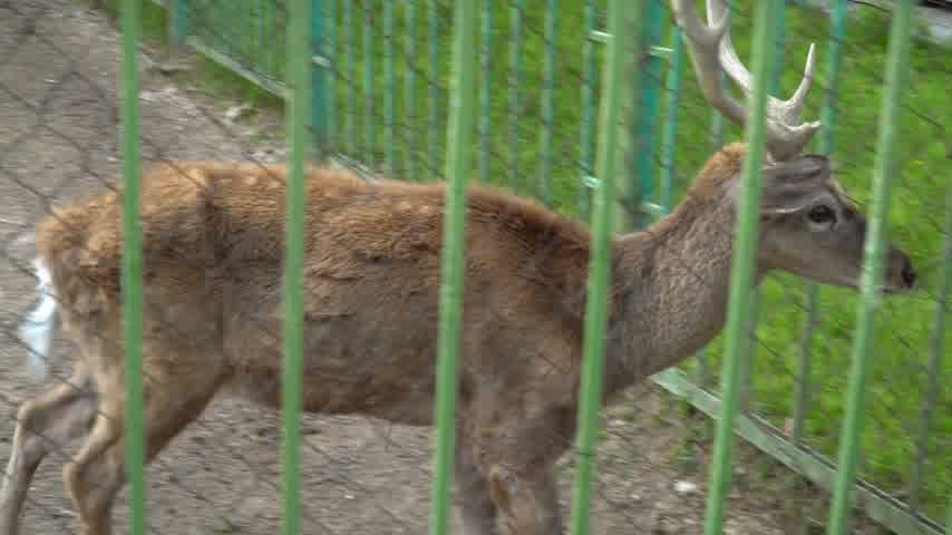 子鹿 : Young deer behind the zoo cage. Concept - animals in captivity 動画素材