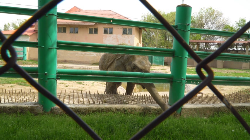 толстокожее животное : Young elephant in a zoo cage. Concept - animals in captivity