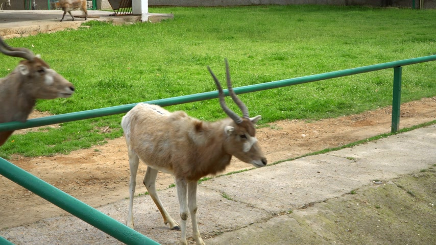 billy goat : The cloven-hoofed animals in the zoo. Concept - animals in captivity