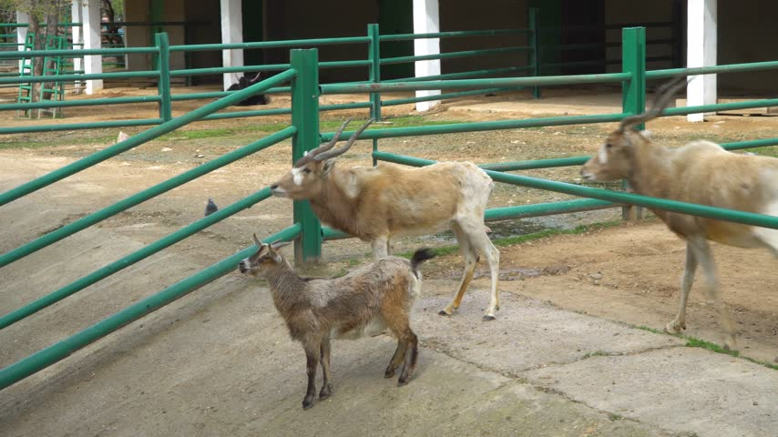 goatling : Family of cloven-hoofed animals in the zoo Stock Footage
