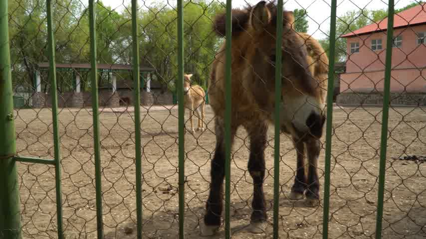 koń : A family of pony horses in a zoo cage. Concept - animals in captivity