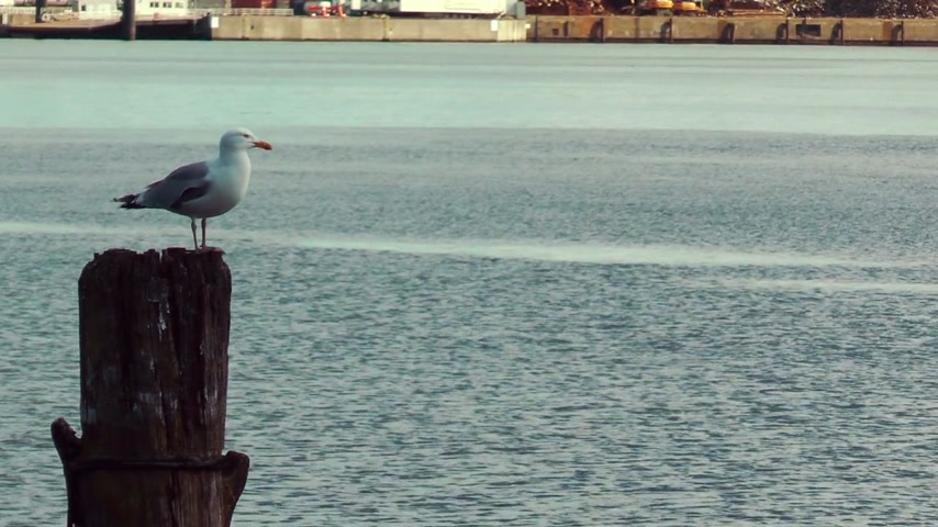 racek : Seagull resting on wooden pillar at Kiel Canal, Germany