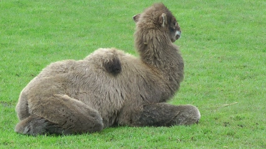 camelo : Camel cob resting on green meadow