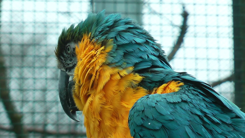 arara : Colorful parrot closeup