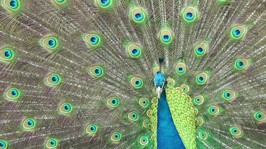 plumas : Hermoso pavo real de cerca Archivo de Video