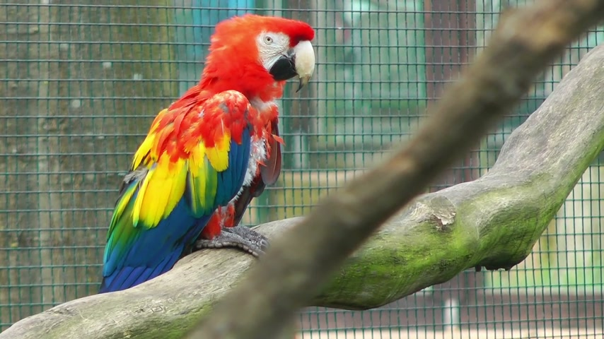 ara : Colorful parrot at zoo Stock Footage