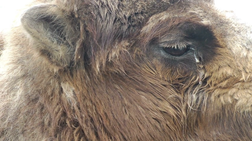wielbłąd : Camel eye close up