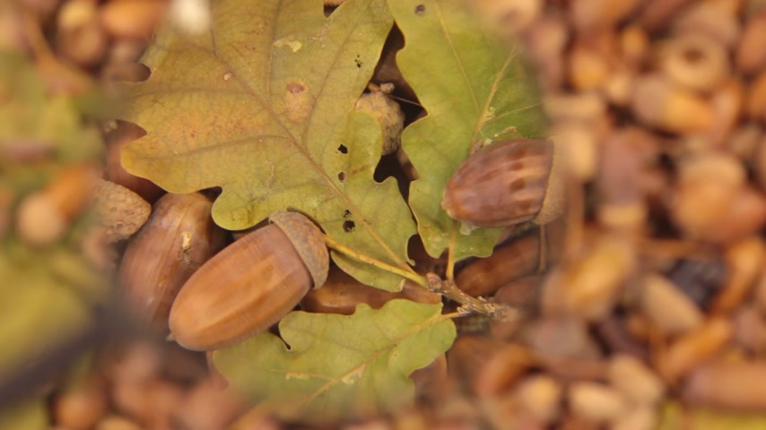 žalud : Study with a magnifying glass, rotating background made from acorns. Leaf and acorn.