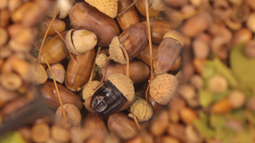žalud : Study with a magnifying glass, rotating background made from acorns. Black acorn.