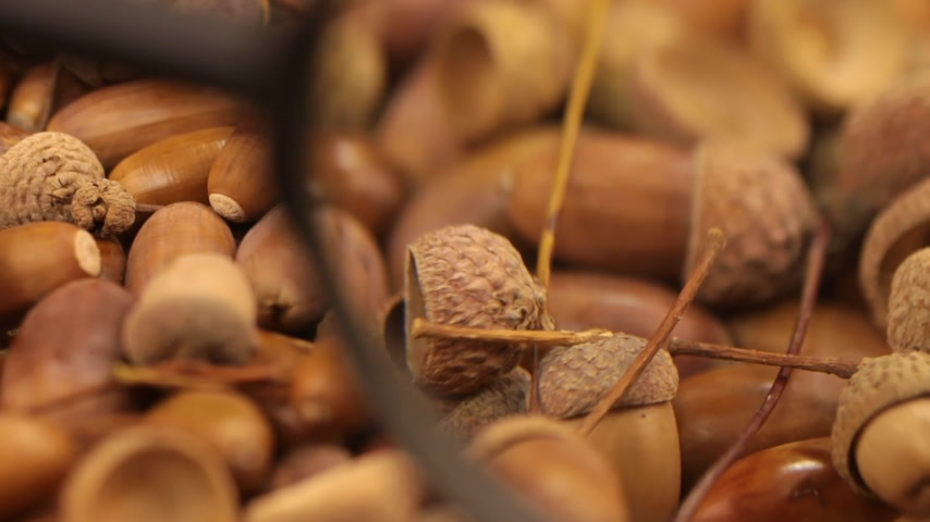 žalud : Close-up with a magnifying glass. Rotation of oak acorns.