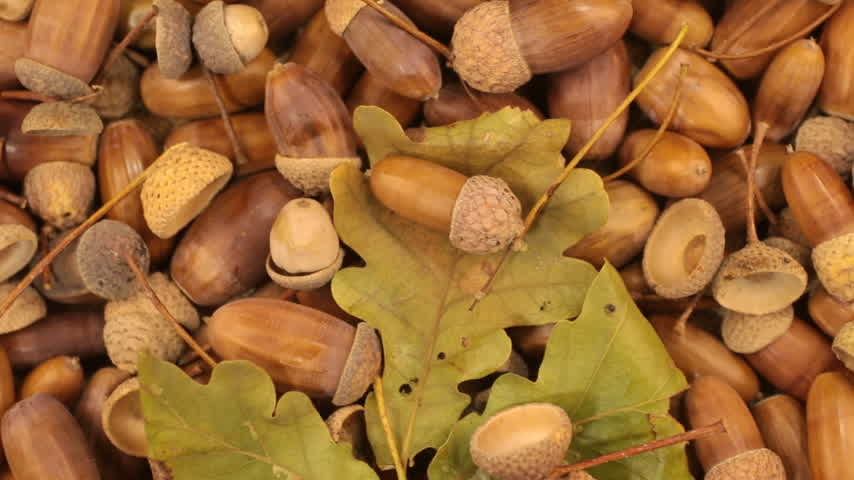 žalud : Close-up. Rotation of oak acorns with green leaves.
